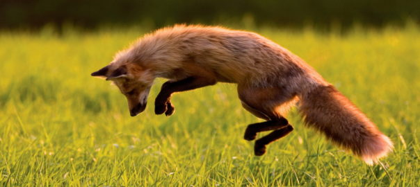 jumping-fox-HD-604x270